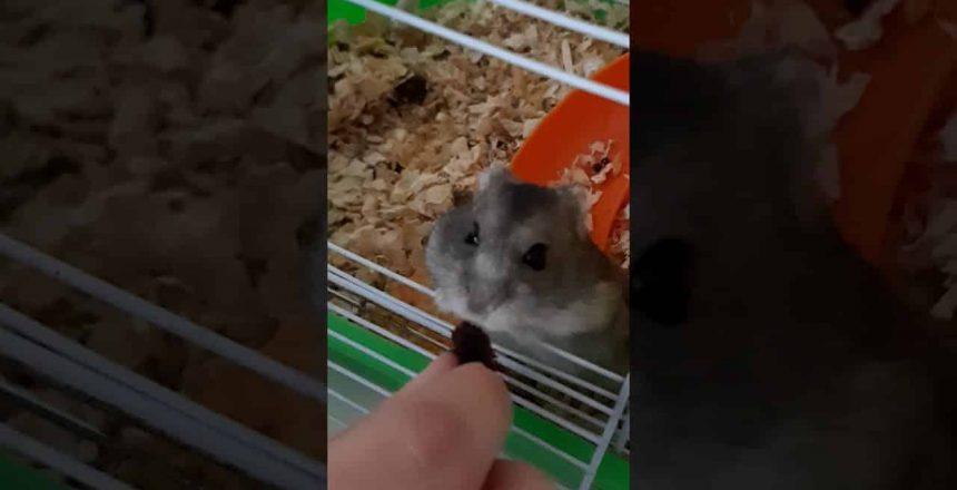 Mi-hamster-comiendo-brownie-de-chocolate-belga.jpg
